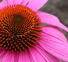 Cone Flower (Echinacea) by Laurel Talabere