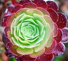 Cabbage Rose Succulent by Penny Smith