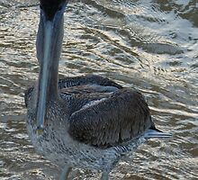 pelican - pelícano by Bernhard Matejka
