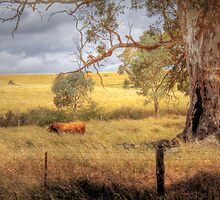 Lonesome Bull - Tungkillo, South Australia by Mark Richards