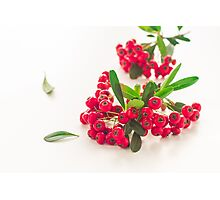Pyracantha Firethorn orange berries with green leaves, isolated on white Photographic Print