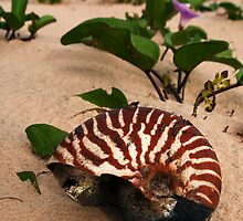 Nautilus - Inskip Point near Fraser Island Qld by Beth  Wode