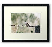 Plum-headed Finch Framed Print