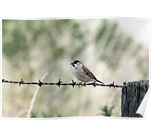 Plum-headed Finch Poster