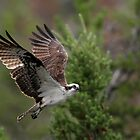 Osprey in Yellowstone, NP by Rob Lavoie