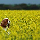 ~Joey In The Canola~ by Julie-Anne Wagner