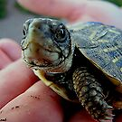 Baby Turtle by © Loree McComb