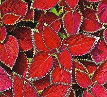 Coleus Eruption by John Butler