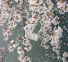 Cherry Blossom by WaterGardens