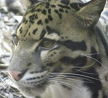 Cute Clouded Leopard by cute-wildlife