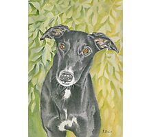 Harvey the Greyhound Photographic Print