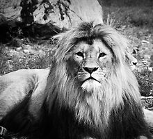 Lion in black & White by Linda Pettersson