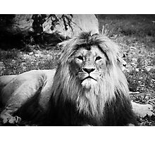 Lion in black & White Photographic Print