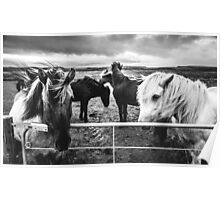Icelandic Ponys Poster