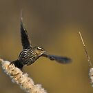 Red-winged Blackbird in Flight, Burlington, Ontario, Canada by Raymond J Barlow