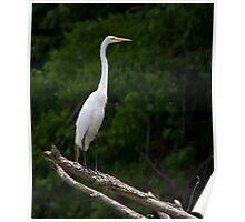 White Egret   #0493 Poster