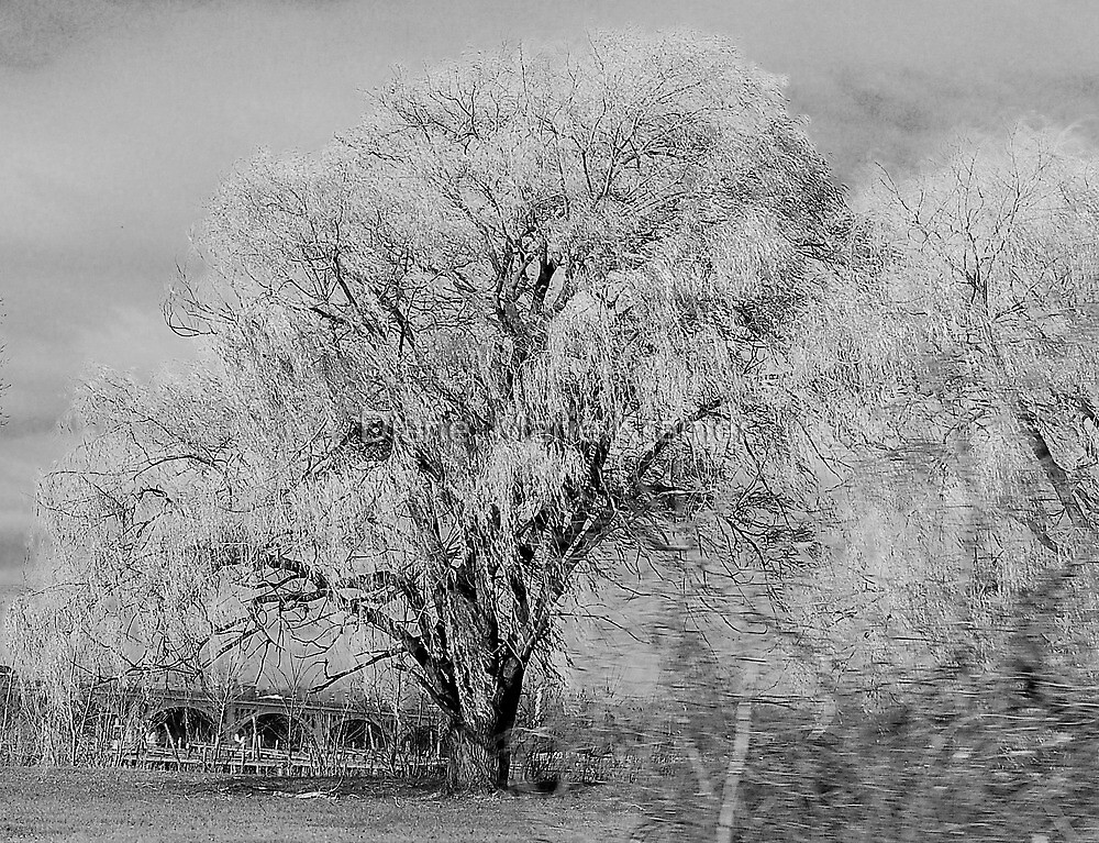 A Weeping Willows drive by by Diane  Kramer