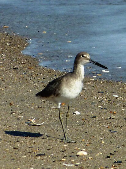 Wild Willet Walking by Tibby Steedly