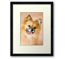 Foxy Lady - Pomeranian  Framed Print