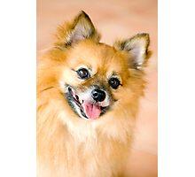 Foxy Lady - Pomeranian  Photographic Print