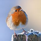 Robin by Peter Stone