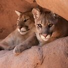 Desert Dwellers--Arizona Mountain Lions by Peggy Coleman