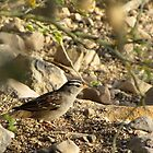White-crowned Sparrow  by Kimberly Chadwick