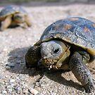 Desert Tortoises ~ Hatchlings (4-5 weeks) by Kimberly Chadwick