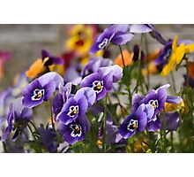 Purple Violas Photographic Print
