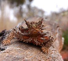 Thorny Devil Ayres rock by Darren Adams