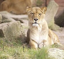 Lioness by franceslewis