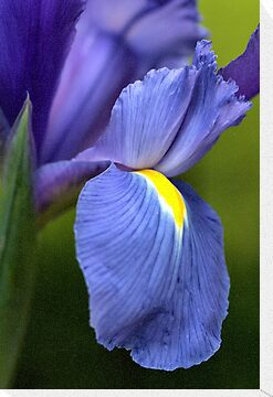 Creating Iris by Joy Watson