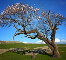 Old tree in blossom - Dog Rocks by Hans Kawitzki