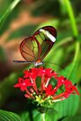 On Red Flower Glasswing - Greta Oto by Lepidoptera
