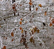 Forest trees blanketed with frost  by Chris L Smith