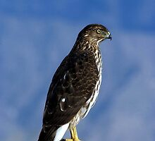 Daily Visitor - Coopers Hawk by Loree McComb
