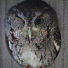 Wink (Screech Owl) by D R Moore