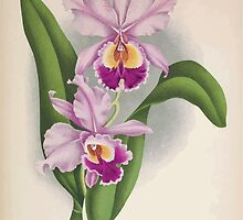 Iconagraphy of Orchids Iconographie des Orchidées Jean Jules Linden V16 1900 0030 by wetdryvac