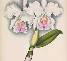 Iconagraphy of Orchids Iconographie des Orchidées Jean Jules Linden V16 1900 0070 by wetdryvac