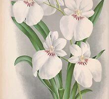 Iconagraphy of Orchids Iconographie des Orchidées Jean Jules Linden V4 1888 0138 by wetdryvac