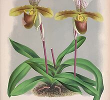 Iconagraphy of Orchids Iconographie des Orchidées Jean Jules Linden V3 1887 0125 by wetdryvac