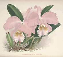 Iconagraphy of Orchids Iconographie des Orchidées Jean Jules Linden V8 V9 1895 0143 by wetdryvac