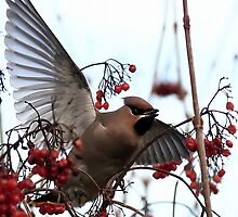 Waxwings by snapdecisions