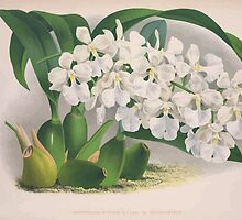 Iconagraphy of Orchids Iconographie des Orchidées Jean Jules Linden V3 1887 0174 by wetdryvac