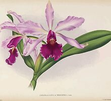 Iconagraphy of Orchids Iconographie des Orchidées Jean Jules Linden V16 1900 0146 by wetdryvac