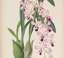 Iconagraphy of Orchids Iconographie des Orchidées Jean Jules Linden V15 1899 0138 by wetdryvac