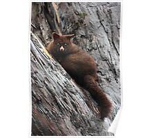 Brush Tail Possum Poster
