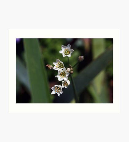 Nothoscordum inodorum Art Print