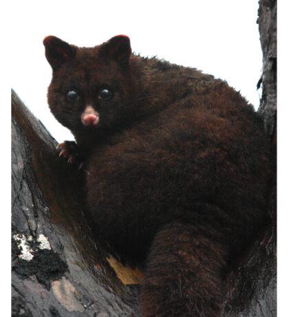 Brush Tail Possum Sticker