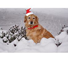 Buster At Christmas  Photographic Print